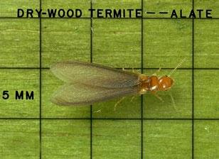 Drywood Termite - Alate