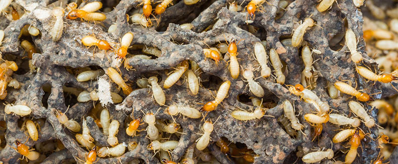 Termite Exterminators in Ventura County